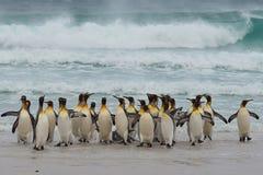 König Penguins Coming Ashore - Falkland Islands stockbild
