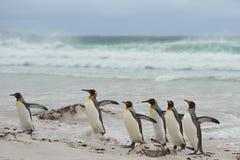 König Penguins Coming Ashore - Falkland Islands stockfoto