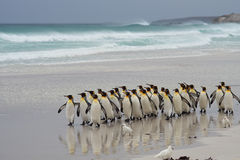 König Penguins Coming Ashore - Falkland Islands stockbilder