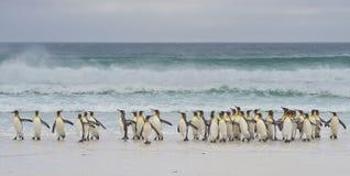 König Penguins Coming Ashore - Falkland Islands lizenzfreie stockfotografie
