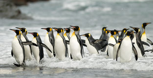 König Penguins in der Brandung Lizenzfreie Stockfotos