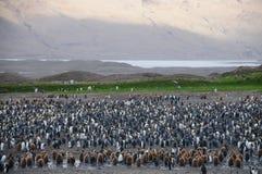 König Penguins an Fortuna-Bucht Stockbilder