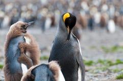 König Penguins an Fortuna-Bucht Lizenzfreies Stockfoto