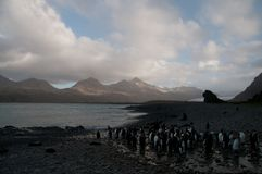 König Penguins an Fortuna-Bucht Stockfotografie