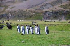 König Penguins an Fortuna-Bucht Lizenzfreie Stockbilder