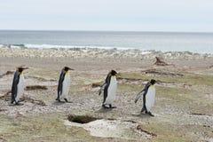 König Penguins im freiwilligen Punkt, Falkland Islands lizenzfreies stockbild