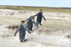 König Penguins im freiwilligen Punkt, Falkland Islands lizenzfreie stockfotos