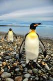 König Penguins in Südamerika lizenzfreies stockbild