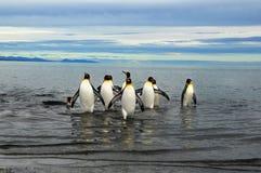 König Penguins in Südamerika Lizenzfreie Stockbilder