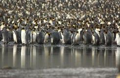 König-Pinguin Lizenzfreie Stockfotografie