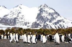 König-Pinguin Stockbilder