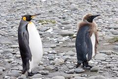 König-Pinguine - lustiges Küken Lizenzfreie Stockfotografie