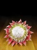 König Protea in der Blüte lizenzfreie stockbilder