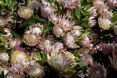 König Protea in Hawaii Stockfoto