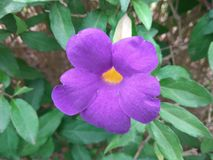 König ` s Umhang oder purpurrote Blume lizenzfreies stockfoto