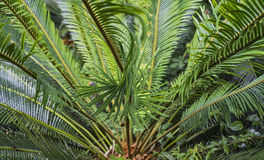 König Sago Palm Lizenzfreies Stockfoto
