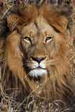König von Afrika Stockfotografie