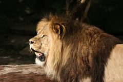 König von Tieren stockfoto