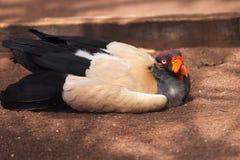 König Vulture Stockbild