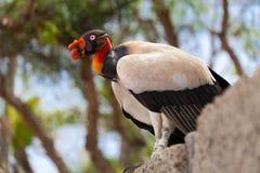 König Vulture Lizenzfreie Stockfotos