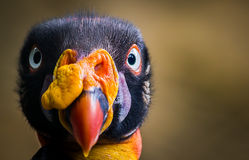 König Vulture Lizenzfreie Stockbilder