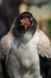 König Vulture Stockfotos