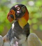 König Vulture lizenzfreie stockfotografie