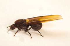 Königin-Ameise, geflügelte Ameise Stockfotografie