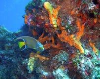 Königin Angelfish mit Schwamm Stockfoto