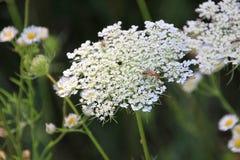 Königin Anns Spitze und Wildflowers Lizenzfreies Stockbild