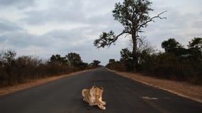 Königin des Kruger Lizenzfreie Stockfotos