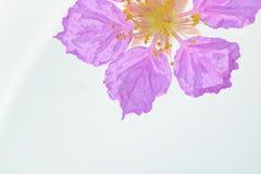 Königin ` s Blume lokalisiert auf weißem Hintergrund Stockfotos