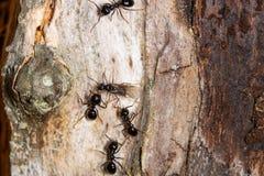 Königinameise umgeben durch vier Ameisen lizenzfreies stockfoto