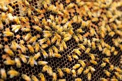 Königinbiene im Honigkamm Lizenzfreies Stockfoto
