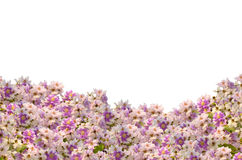 Königinkreppmyrtenrahmen lizenzfreies stockbild