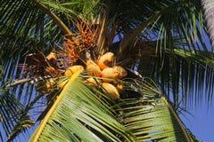 Königkokosnussbaum gefüllt mit Kokosnüssen Lizenzfreies Stockbild