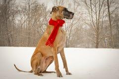 Königliche Deutsche Dogge, die im Schnee sitzt Stockbilder