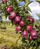 Königliche Gala-Äpfel lizenzfreie stockfotografie