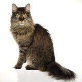 Königliche Katze Stockfotografie