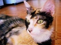 Königliche Katze Lizenzfreie Stockfotos