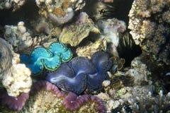 Königliche Korallen Stockfotografie