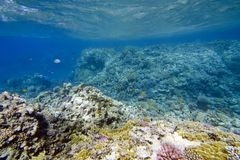 Königliche Korallen lizenzfreies stockbild