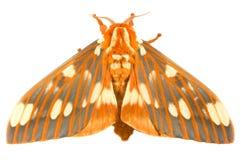 Königliche Motte Citheronia regalis stockbild