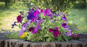 Königliche Pelargonienblumen - Pelargonie grandiflorum stockbild