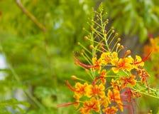 Königliche poinciana Baumblumen stockbild