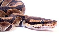 Königliche Pythonschlange stockfoto