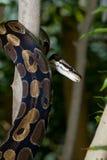 Königliche Pythonschlange lizenzfreie stockfotos