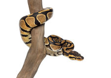 Königliche Pythonschlange auf einer Niederlassung, Pythonschlange königlich, lokalisiert lizenzfreies stockbild