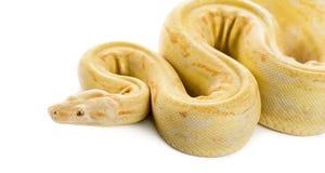 Königliche Pythonschlange des Albinos lizenzfreie stockbilder