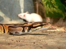 Königliche Pythonschlange im Terrarium mit einer Maus Stockbilder